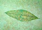 6/7 Leaf 04